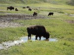 Grazing Buffalo in Yellowstone