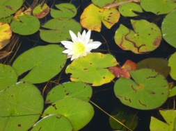 Lilypads on inlet to Shoal