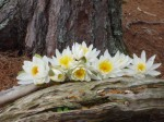 Water lilies on a log, Shoal Lake